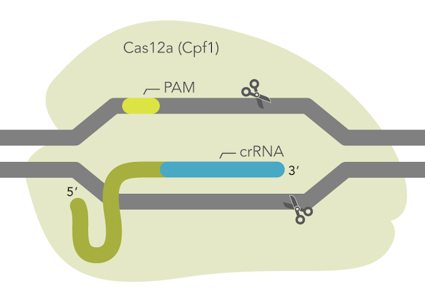 IDT launches ultra-high performance CRISPR Cas12a enzyme