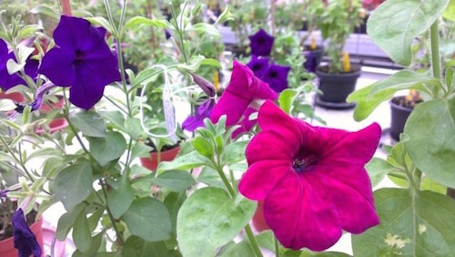 color-changing Petunia