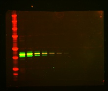 Multiplex Western blot image of LI-COR dye 680 and IR dye 800